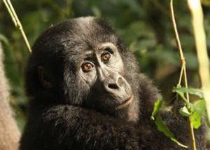 rushegura-gorilla-group