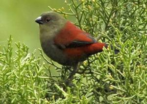 shellys-crimsonwing