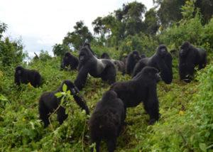 susa-gorilla-group