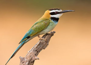 white-throated-bee-eater