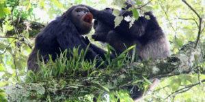 Chimpanzee Tracking & Habituation in Uganda