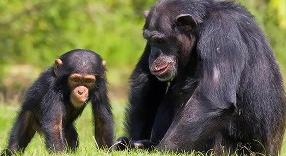 Chimpanzees in Uganda