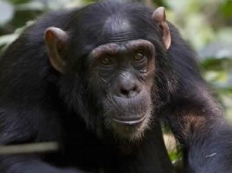 Chimpanzee Safari Tours