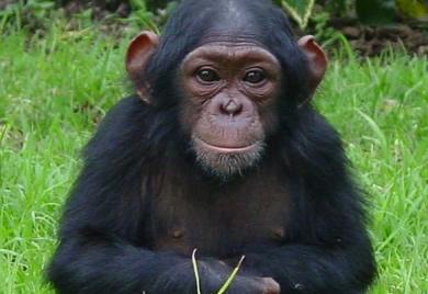 Chimpanzee Tracking & Viewing in Congo
