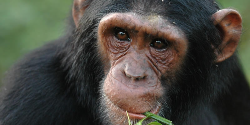 Chimpanzee Tracking in Nyungwe Forest National Park