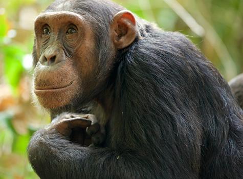 Chimpanzee Tracking Safaris Africa