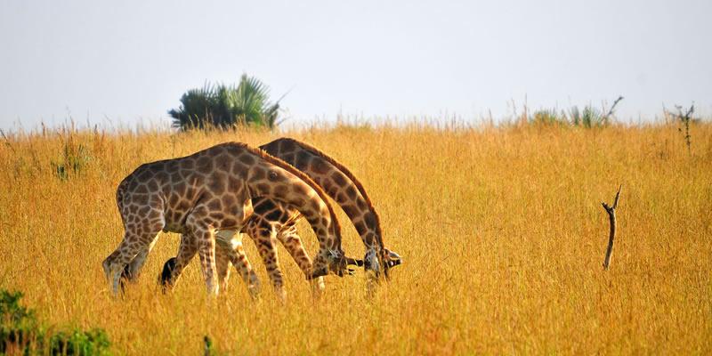 Wildlife Safari Tours in Uganda