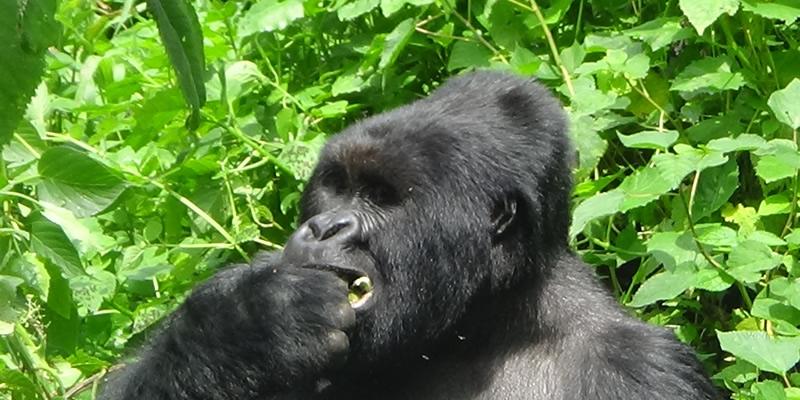 Gorilla Trekking Tours in DR Congo