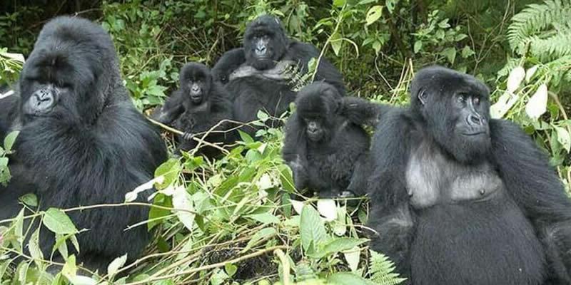 Mountain Gorilla Trekking Virunga