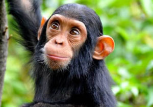 Chimpanzee Tracking in Africa