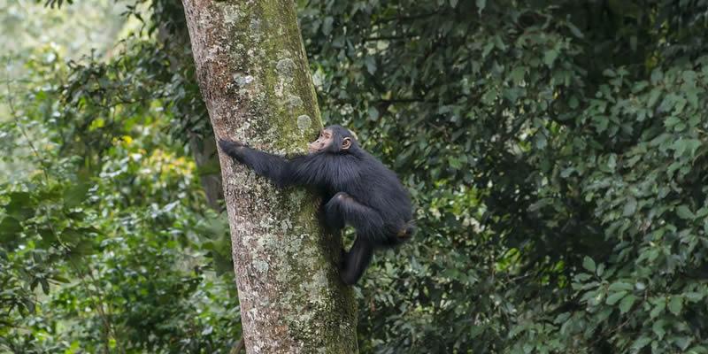 Chimpanzee Tracking at Nyungwe Forest