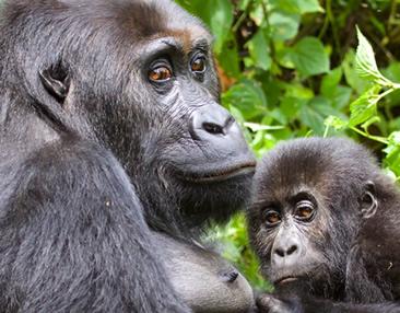 Eastern Lowland Gorilla Trek in DR Congo