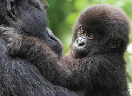 5 Days Budget Rwanda Chimps Safari & Gorilla Trekking Tour