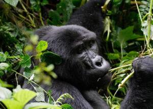 4 Days Rwanda double Gorilla Trek & Golden Monkey Tracking Safari