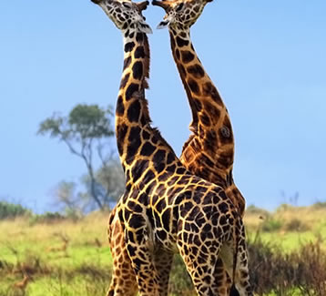 14 Days Best of Uganda & Rwanda Photographic Safari