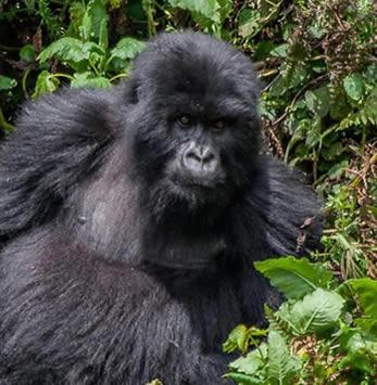 Virunga National Park Congo: Gorilla Trekking Safaris in DR Congo