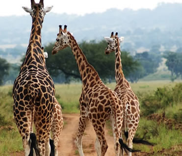 Wildlife Tours in Murchison Falls National Park